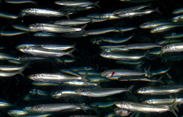 ikan sarden, Sardines